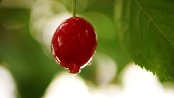 Cherry Tree Branch  One Piece Fruit With Water Drop And  Midge, Isolated