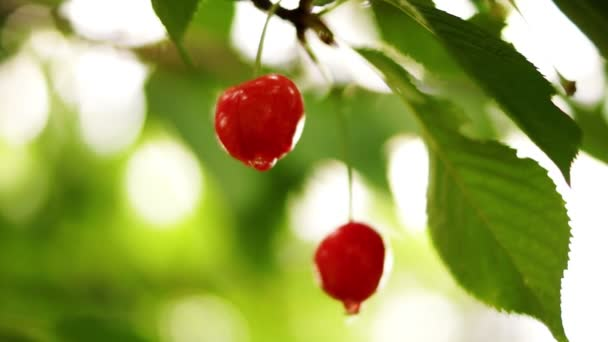 Cherry Tree Branch  Two Piece Fruit With Water Drops, Changing Focus