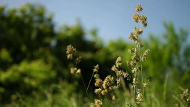 Isolated  Long Grass Blowing in  The Spring Wind.Grass Pollen Allergy