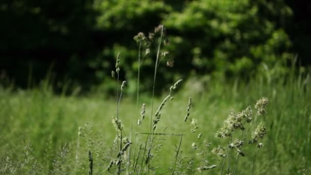 Isolated Waving Long Grass Blowing in  The Spring Wind.Grass Pollen Allergy