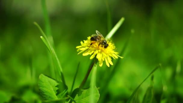 Včela na pampelišce, jarní vítr