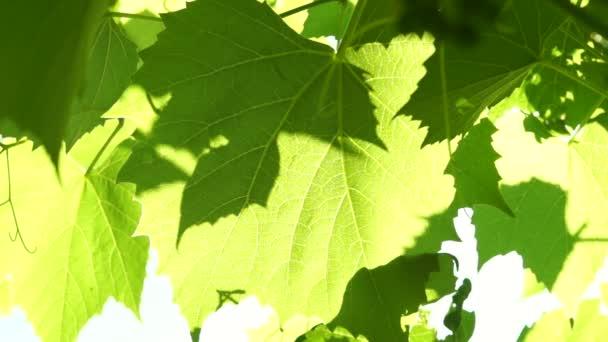 Révy vinné listy ve vinici foukané větrem, na slunci