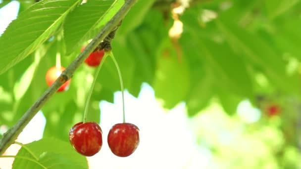 Pair Of Cherries In The Tree , Wind, Sound