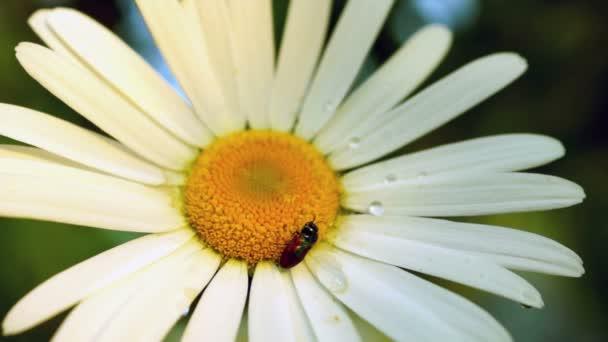 Daisy (Chrysanthemum Leucanthemum) With Water Drops And Bug