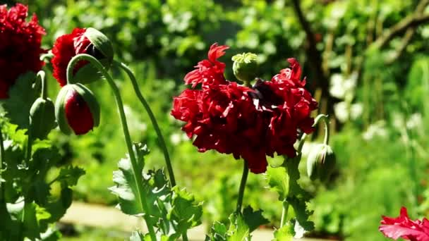 Almost Withered Opium Poppy and Popy Bud (Papaver Somniferum)