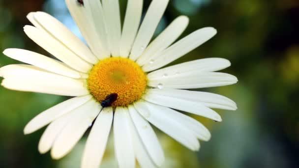 Sedmikráska (Chrysanthemum Kopretina) s kapky vody a chyby