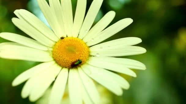 Daisy (Chrysanthemum Leucanthemum) With Water Drops And Bugs