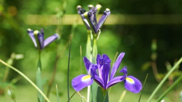 Blue Iris Flower in Spring Wind  With Sound