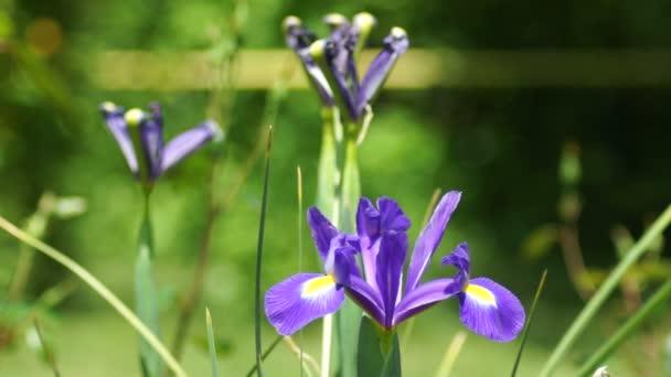 Blue Iris Flower in The Garden in Spring Wind