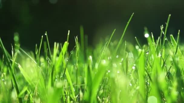 Grass With Morning Dew, Changing Focus