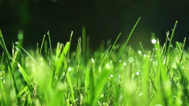 tráva s ranní rosou
