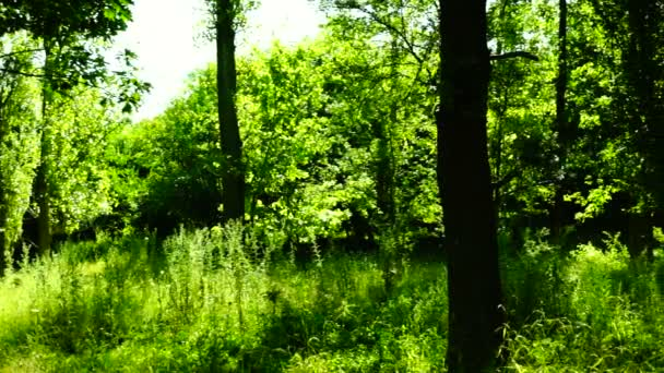 Woods forest, trees background, sunlight through tree leaves in summer day, pan