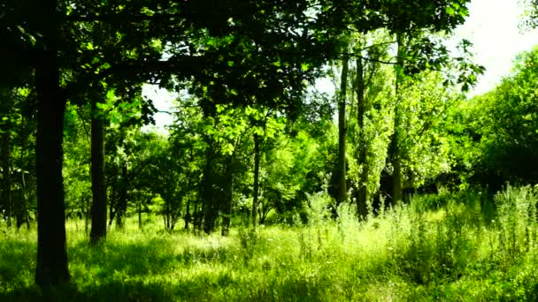 Woods forest, trees background, grove, breeze,august, pan