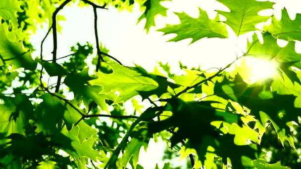 Sunlight through oak  tree leaves in summer day, lens flare