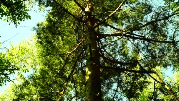 Sluneční světlo filtrování přes svěží vysoký Les, otočné stativy