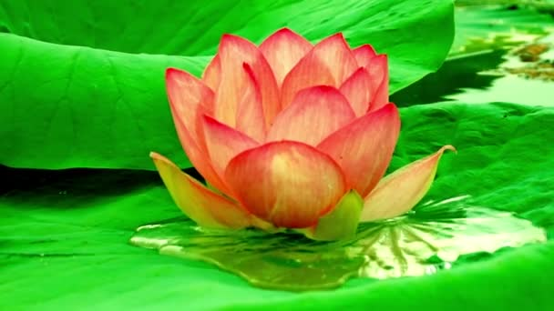 Lotus flower (Nelumbo nucifera) with fruits flies moving by waves and wind