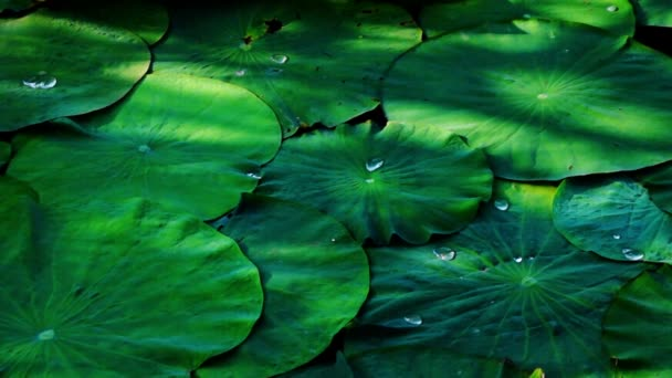 Lotus Leaves With Droplets And Shadows