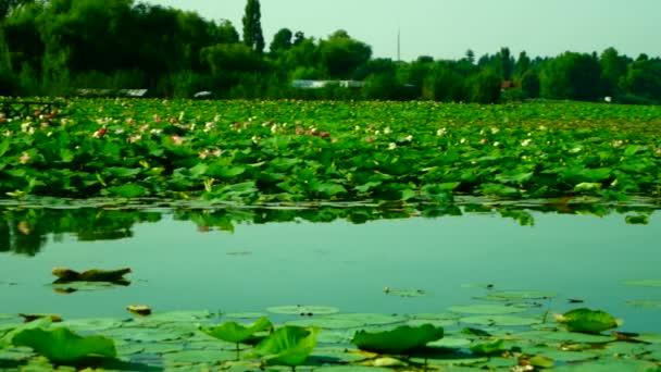 Lotus listy a květy (Nelumbo Nucifera) na jezeře, Pan