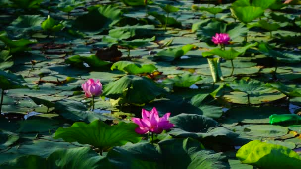 Lotus Leaves And Flowers (Nelumbo Nucifera) On Lake With  Sound And Empty Plastic Bottle