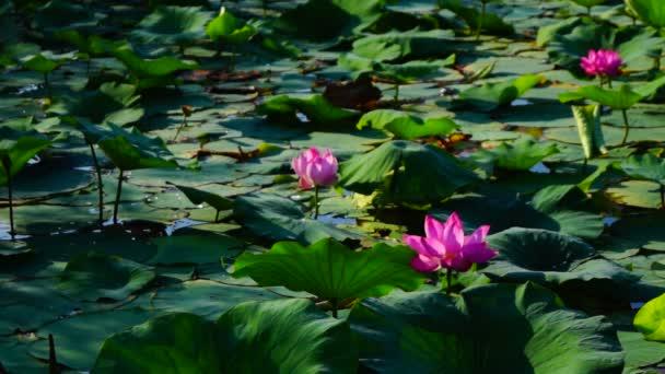 Lotus Leaves And Flowers (Nelumbo Nucifera) On Lake With  Sound