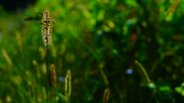 Divoké trávy, nadýchané plevele na louce, v srpnu slunce