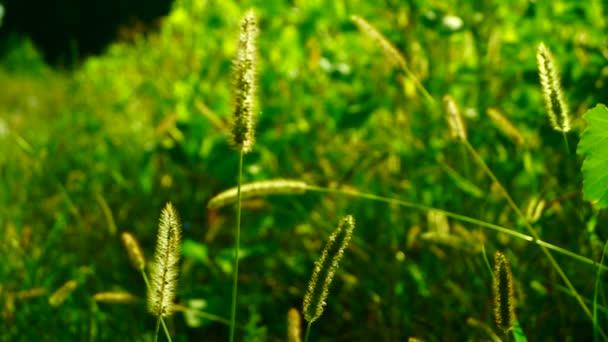 Divoké trávy, nadýchané plevele na louce, na slunci