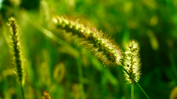 Divoké trávy, zlatá, nadýchané plevele na louce, na slunci