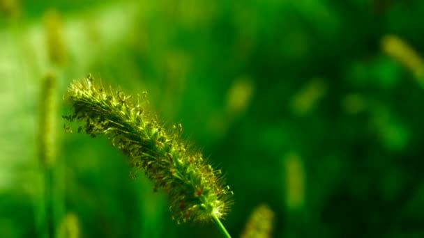 Divoké trávy, nadýchané plevele na louce, v slunci, větru