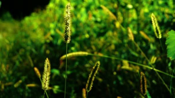 Divoké trávy, nadýchané plevele na louce, na slunci na okraji obilné pole