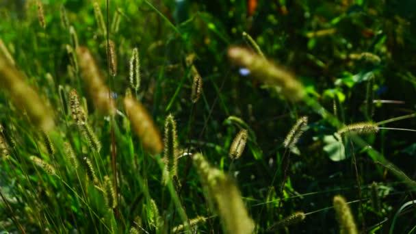 Divoké trávy, nadýchané plevele na louce, v slunci, změna zaměření