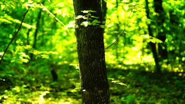 Stromy v lese s odpolední slunce a paprsky a zvuk, pan