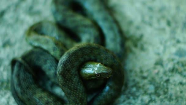 Coiled snake looking at camera, tongue out. Dice snake ( Natrix tessellata )