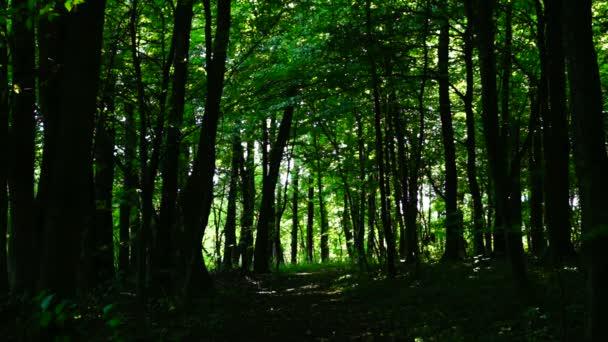 Woods lesní, stromy pozadí, zelené přírody krajiny, slunečný grove, srpen, statický záběr