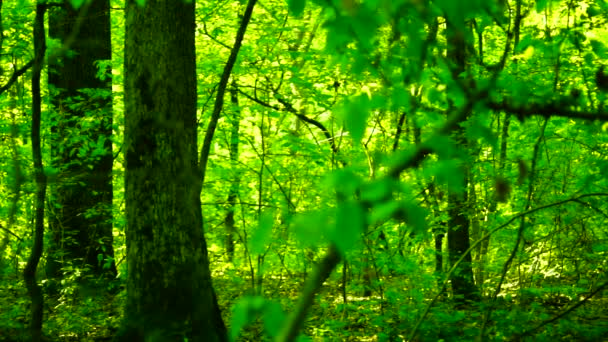 Erdő erdő, fák háttér, zöld környezetben fekvő, napsütötte ligetben, augusztus, pan