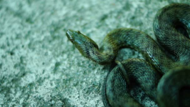 Coiled snake, tongue out, looking away. Dice snake ( Natrix tessellata )