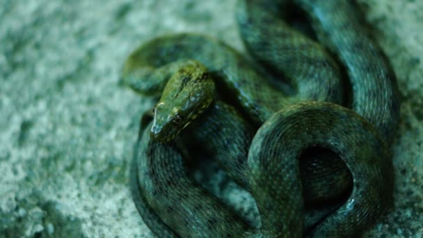 Coiled snake, tongue out. Dice snake ( Natrix tessellata )