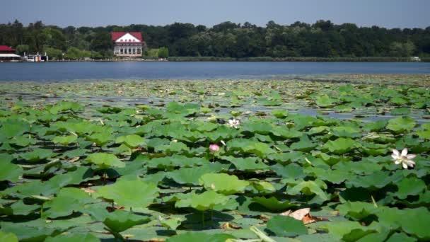 Jezerními krajina s Snipes, lotosové květy a Rumunská vlajka