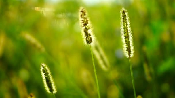 Divoké trávy, nadýchané plevele na louce, v slunci, větru, změna zaměření