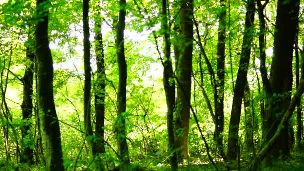 Lese lesa, stromy pozadí, Zelená příroda, zdravé, srpen, pan