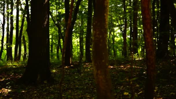 Erdő, erdő, fák háttér, zöld környezetben fekvő, hang, augusztus, pan