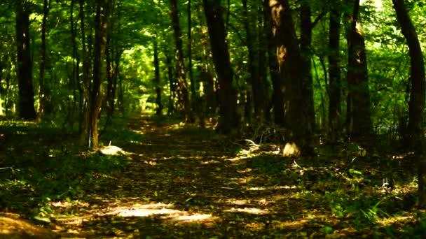 Lese lesa, stromy pozadí, zelené přírody krajiny, cesta v lese, zvuk, srpen, pan