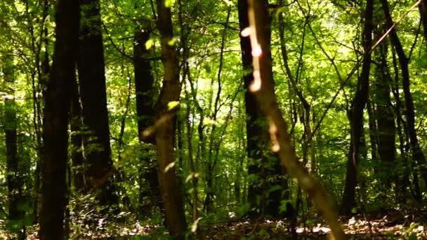Lese lesa, stromy, zelené přírody krajiny, sluníčko, ozvučení, srpen, pan