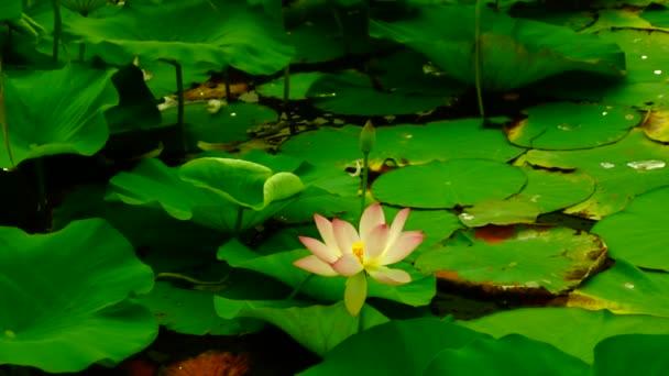 Lotosový květ (Nelumbo nucifera) pohybující se vlnami a větrem