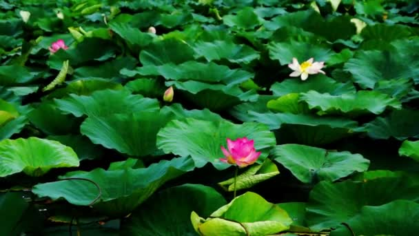 Lotus Flower And Leaves Nelumbo Nucifera Moving By Waves And Wind