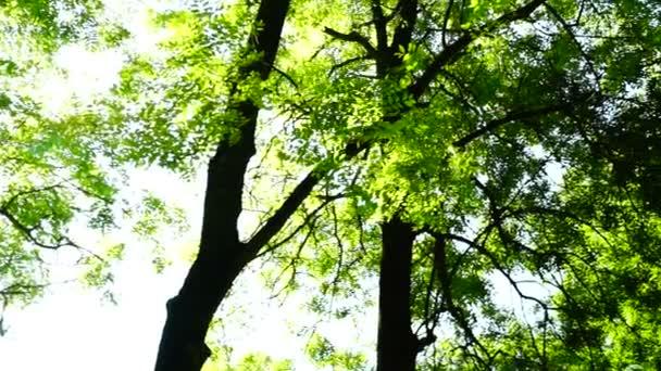 Sunny grove, lesy lesů, otočit, stromy, Zelená příroda, koruny stromů