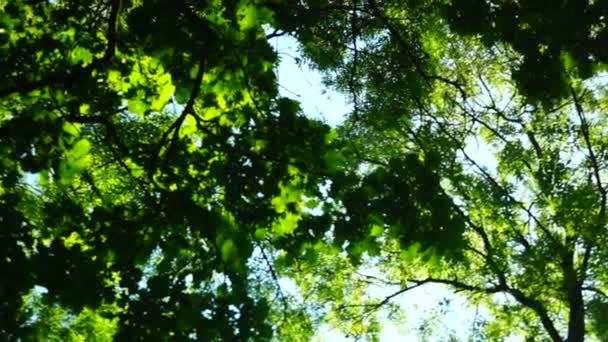 Napos liget, erdő, erdő, fák, zöld természet táj, hang elforgatása