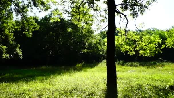 Napos liget, erdő, erdő, forgatás, fák, zöld környezetben fekvő, pan