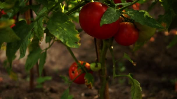 OrganicTomatoes In The Garden,tilt up