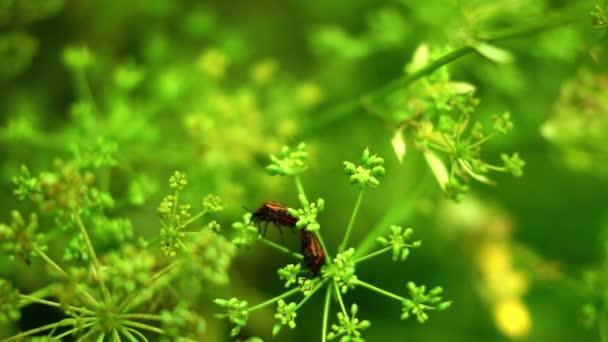 Červené brouků Coleoptera chyby páření na květ kopru