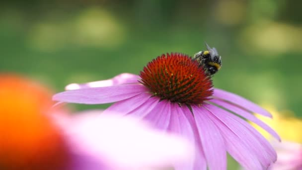 Bumble-bee Feeds On Nectar Purple Coneflower (Echinacea Purpurea)
